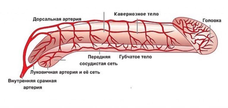 схема кровоснобжения полового члена